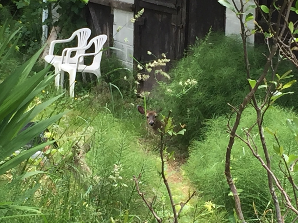 Spring/Summer 2020 - Campbell River, Vancouver Island, British Columbia - Two deer at a friend's home - there she is!