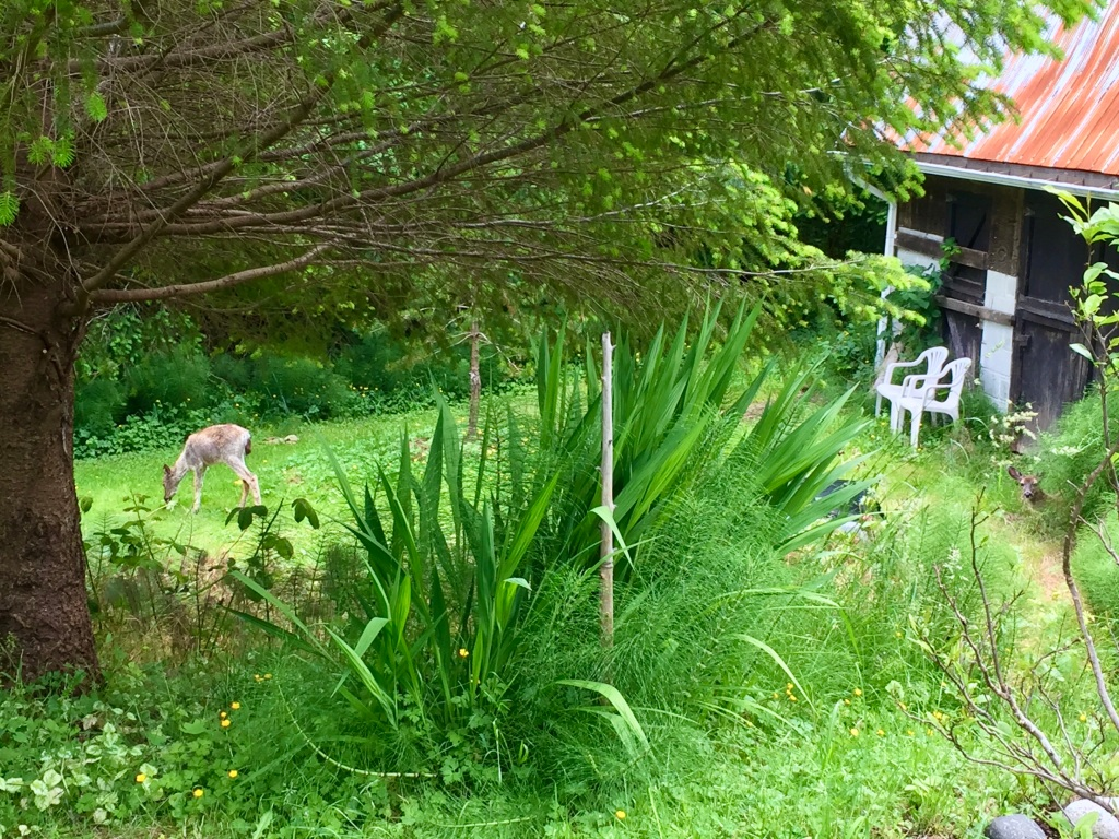 Spring/Summer 2020 - Campbell River, Vancouver Island, British Columbia - Two deer at a friend's home