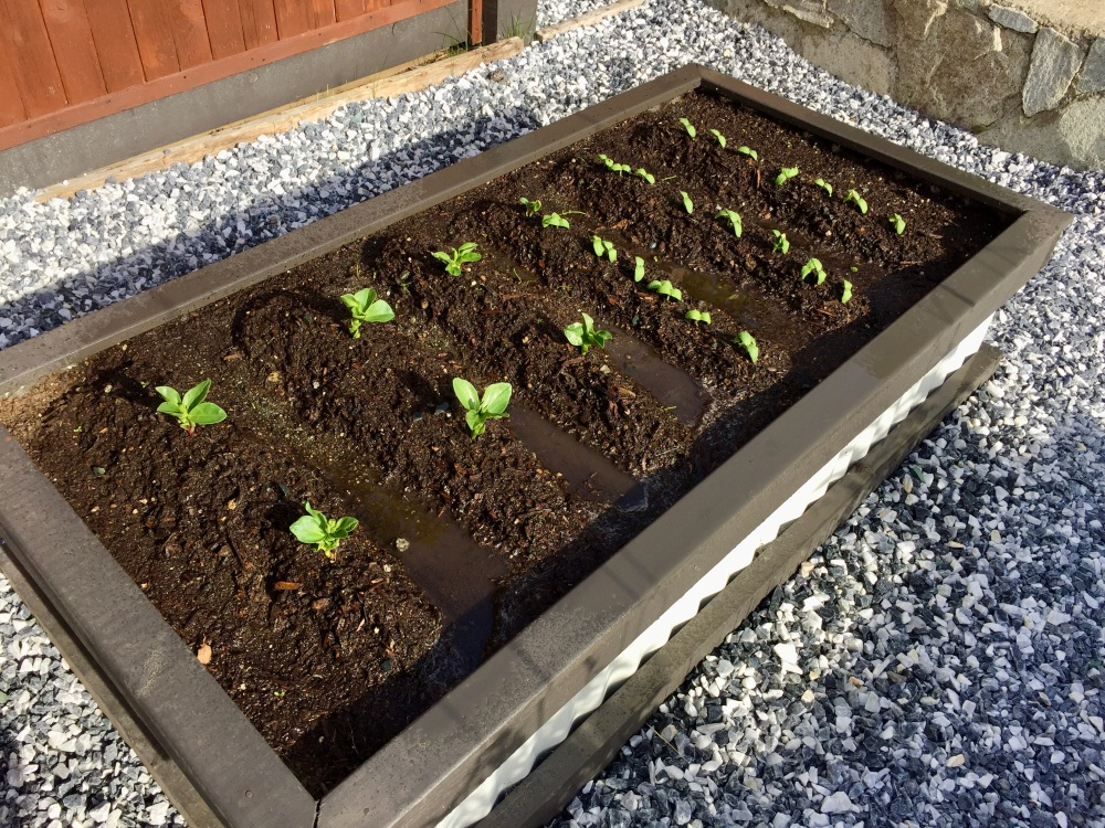 Spring/Summer 2020 - Campbell River, Vancouver Island, British Columbia - Beans and cucumbers started to sprout