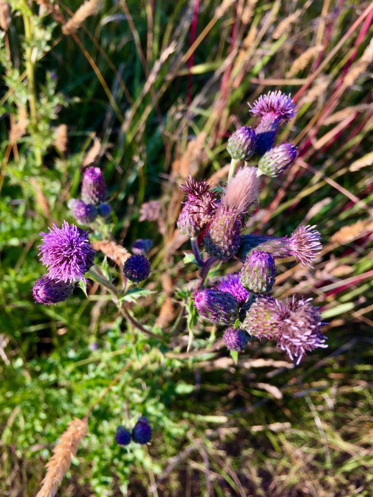 Spring/Summer 2020 - Campbell River, Vancouver Island, British Columbia - Thistle