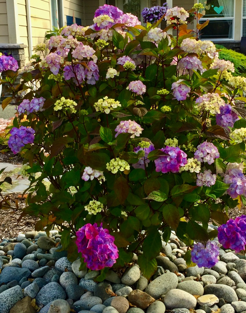 Spring/Summer 2020 - Campbell River, Vancouver Island, British Columbia - Hydrangea Tree