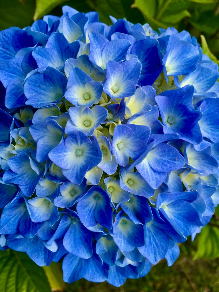 Spring/Summer 2020 - Campbell River, Vancouver Island, British Columbia - Blue Hydrangea