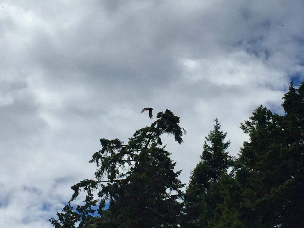 July 16th - Quadra Island, British Columbia - Kayaking - Eagle!