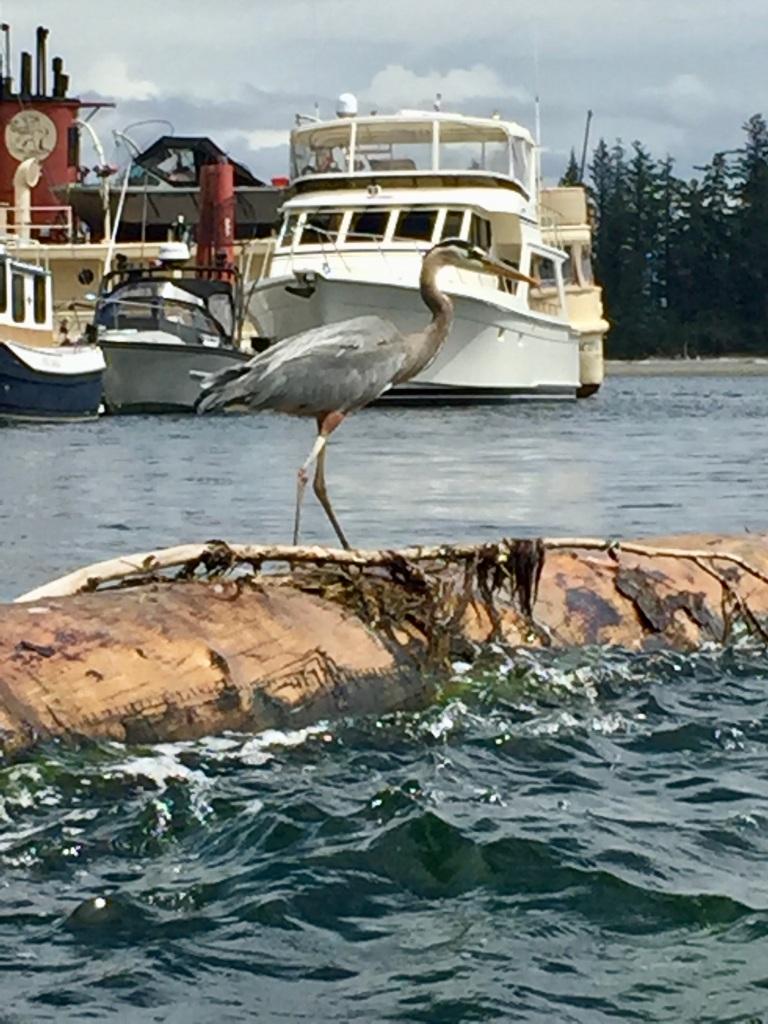 July 16th - Quadra Island, British Columbia - Kayaking - Great Blue Heron