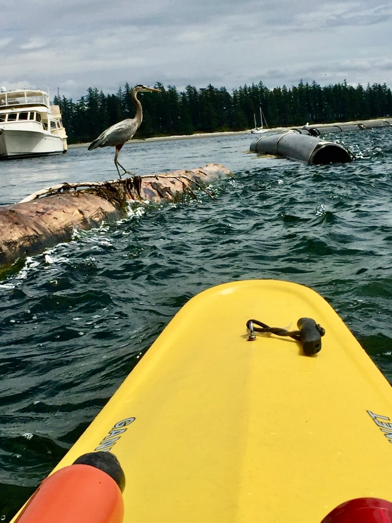July 16th - Quadra Island, British Columbia - Kayaking - Great Blue Heron
