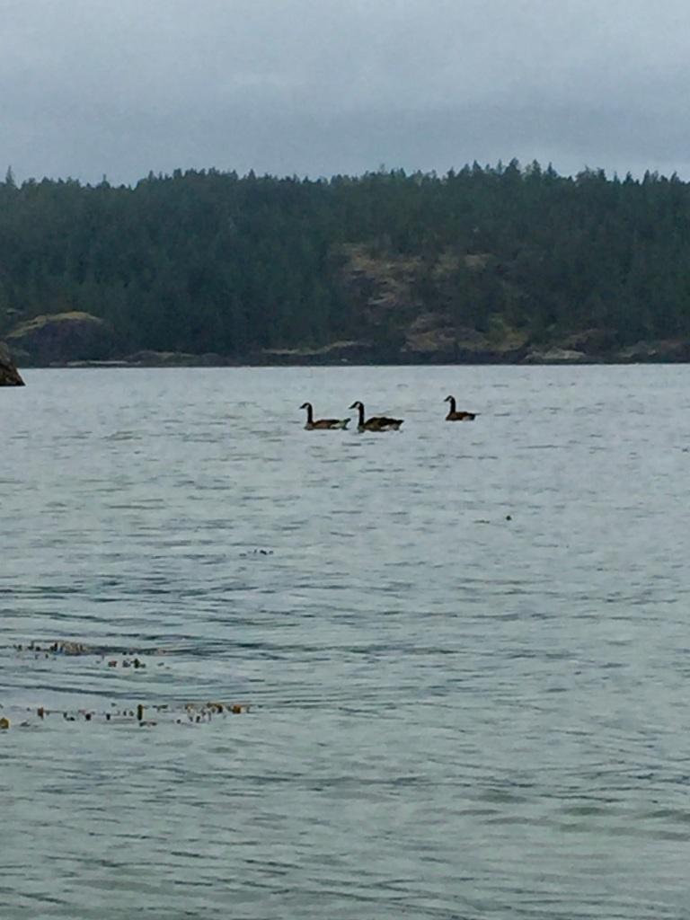 July 16th - Quadra Island, British Columbia - Kayaking - Canadian geese traffic