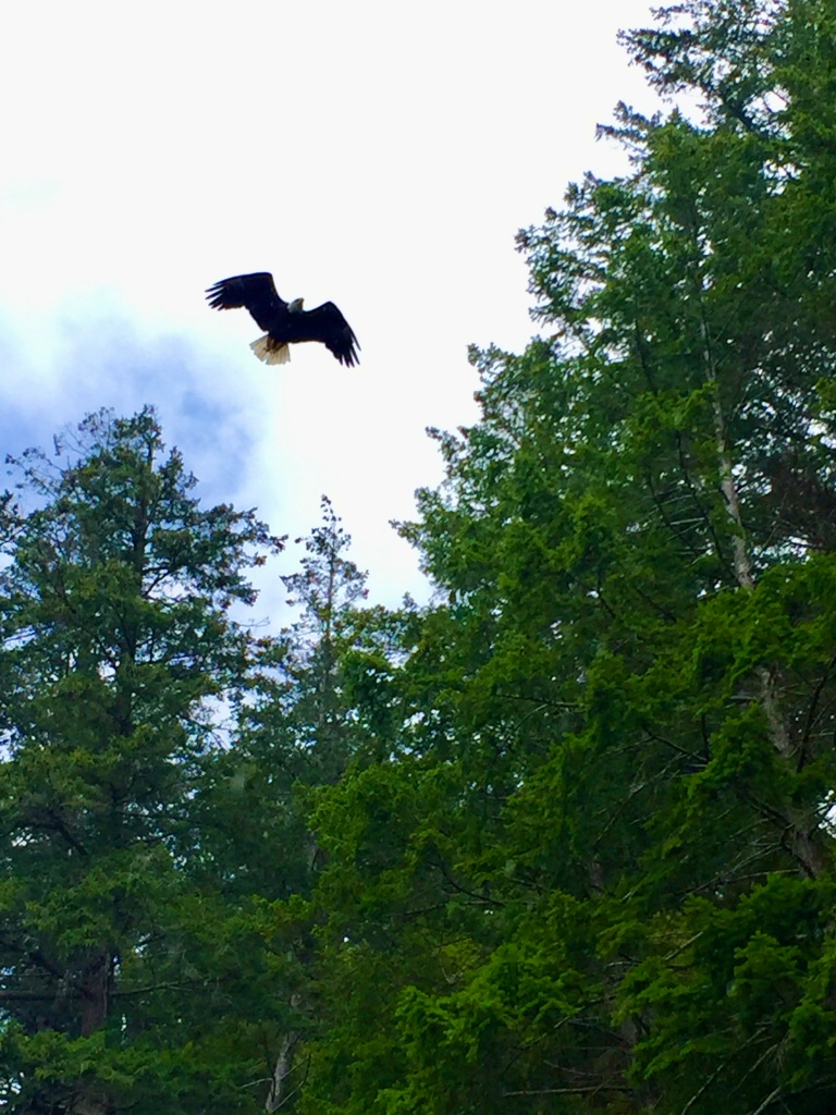 July 16th - Quadra Island, British Columbia - Kayaking - Hyacinthe Bay - Eagle flying above me!