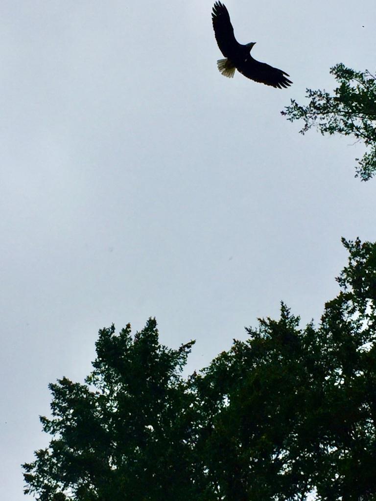 July 16th - Quadra Island, British Columbia - Kayaking - Hyacinthe Bay - Eagle flying above me!