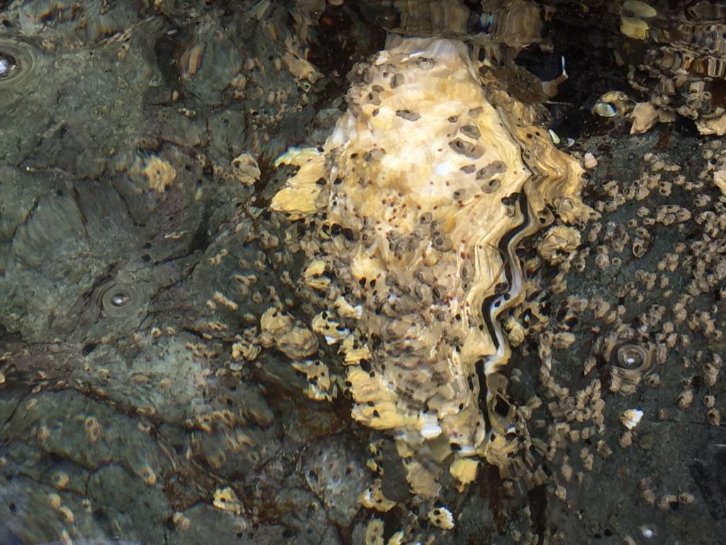 July 16th - Quadra Island, British Columbia - Kayaking - Hyacinthe Bay - Oyster - There are plenty of them!