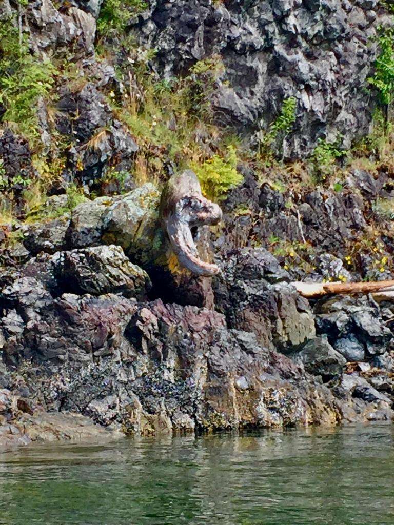 July 16th - Quadra Island, British Columbia - Kayaking - Hyacinthe Bay - Driftwood that looks like a distorted wolf eel!