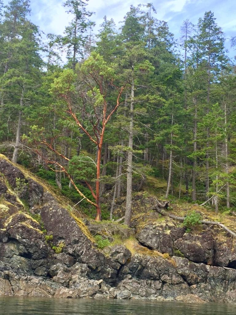 July 16th - Quadra Island, British Columbia - Kayaking - Hyacinthe Bay - Weird brown tree