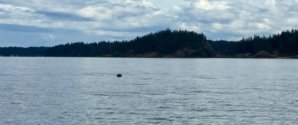 July 16th - Quadra Island, British Columbia - Kayaking - Seal off my port side