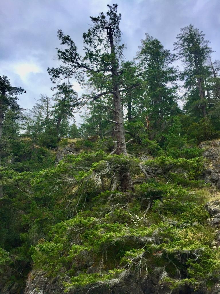 July 16th - Quadra Island, British Columbia - Kayaking - Hyacinthe Bay - Cool solitary tree!