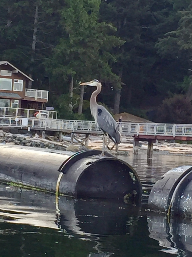 July 16th - Quadra Island, British Columbia - Kayaking - Arriving back to the dock - Impressive boat - Return of the Great Blue Heron