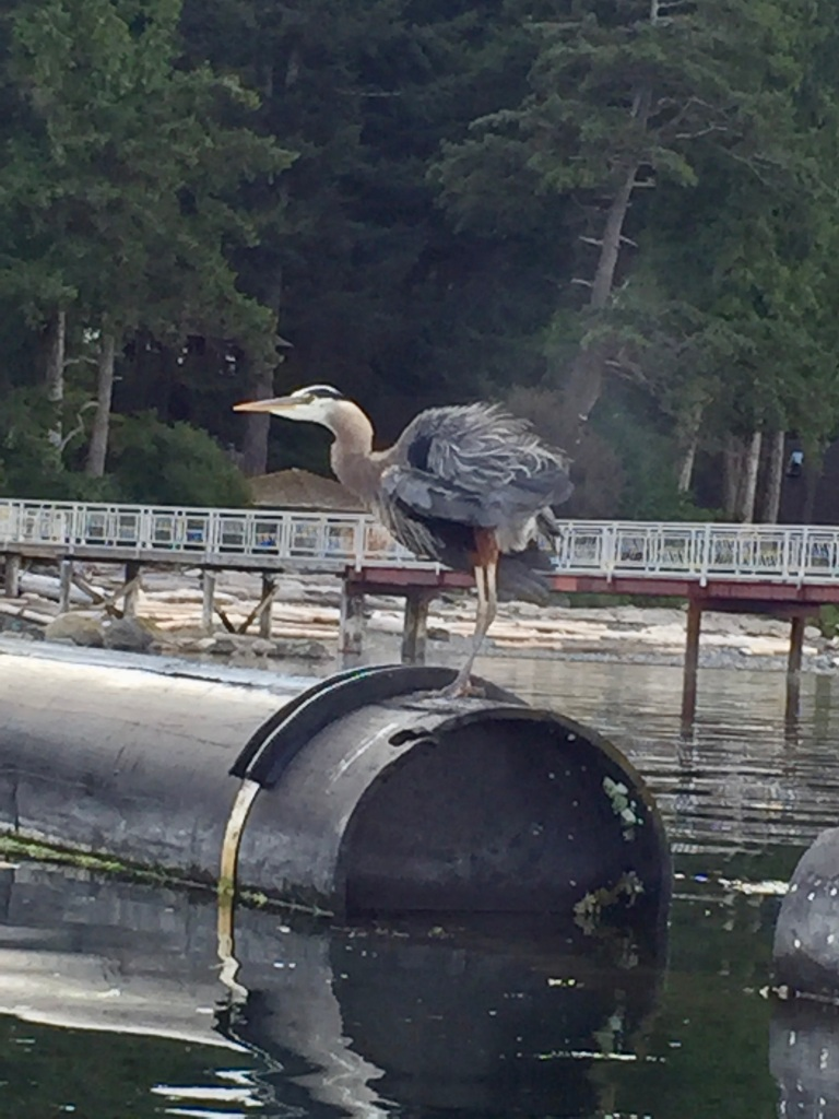 July 16th - Quadra Island, British Columbia - Kayaking - Arriving back to the dock - Impressive boat - Return of the Great Blue Heron - Shaking his feathers!