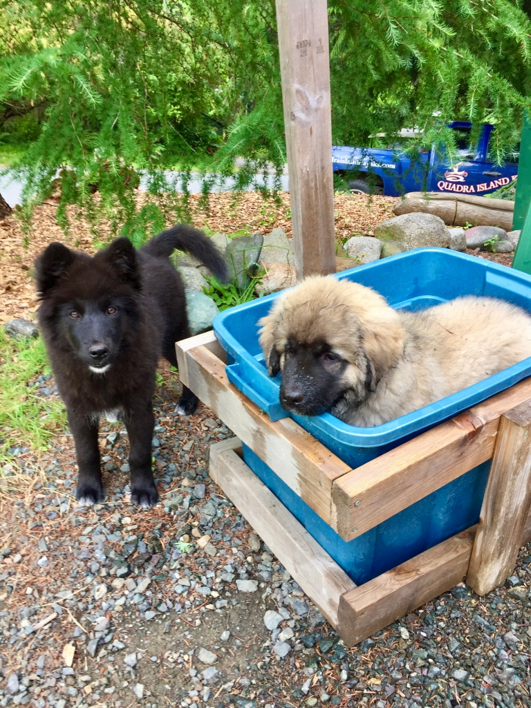 July 16th - Quadra Island, British Columbia - Quadra Island Kayak puppies - Timber wolf and Shepard mix!