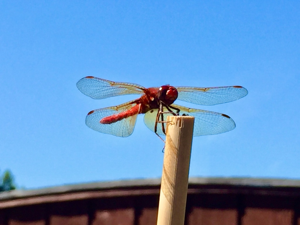 July 25th, 2020 - Red dragonfly stopping by for a visit!