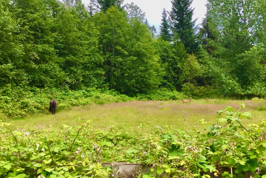 July, 2020 - Campbell River, Vancouver Island, British Columbia - Horse and a deer