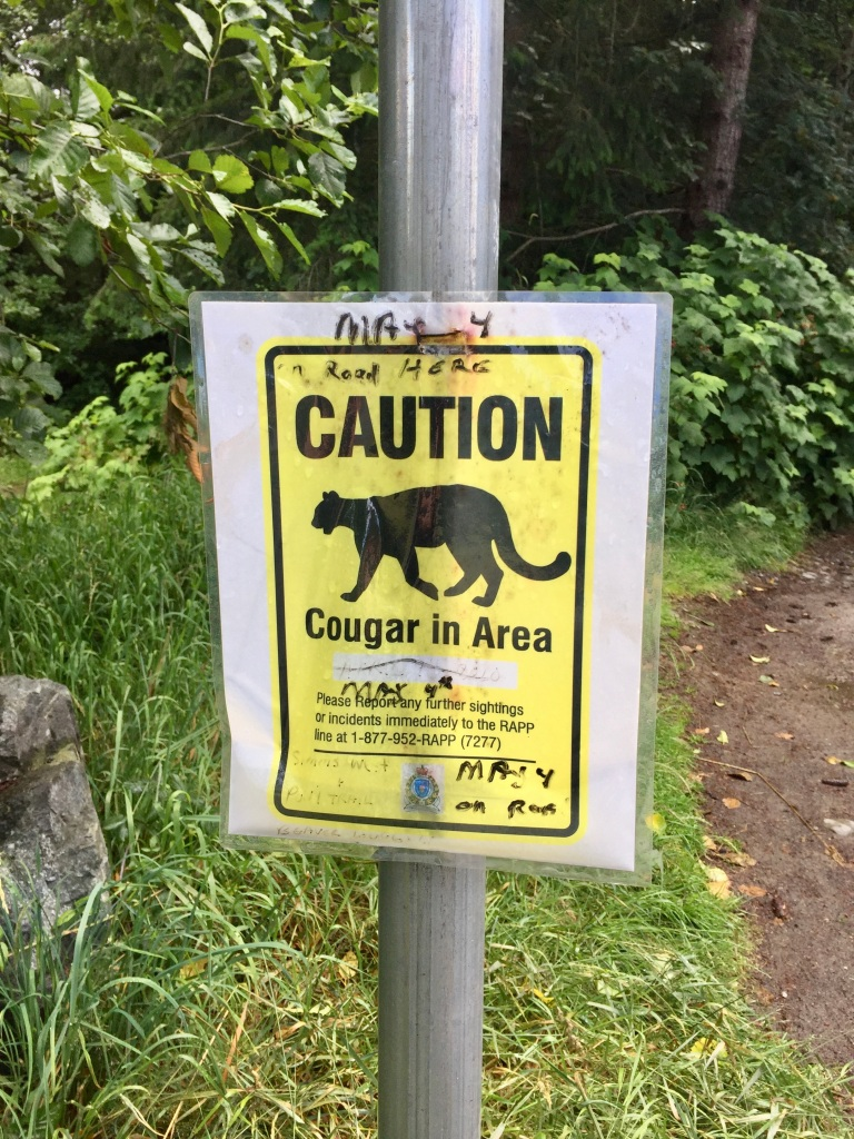 July, 2020 - Campbell River, Vancouver Island, British Columbia - Cougar in the area - in a neighborhood along a running path