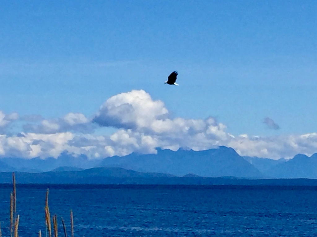July, 2020 - Campbell River, Vancouver Island, British Columbia - Eagle flying along the shore