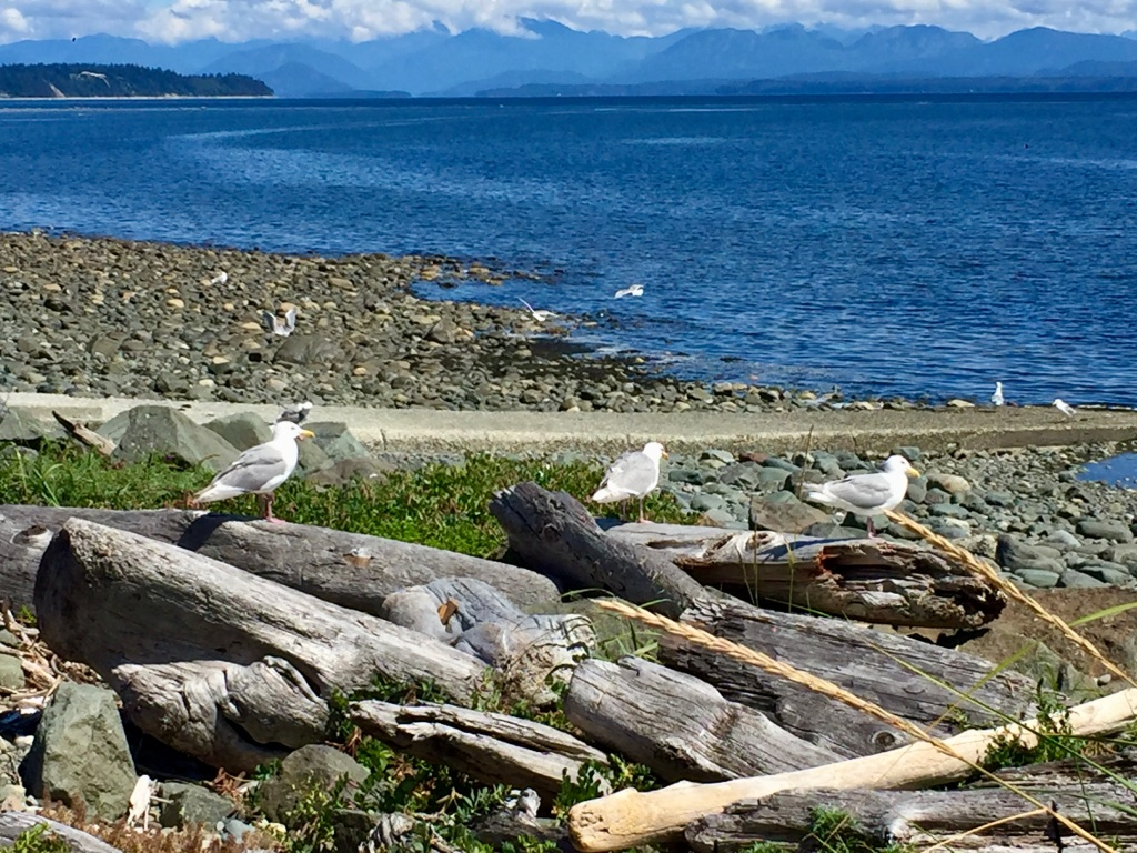 July, 2020 - Campbell River, Vancouver Island, British Columbia - Seagulls