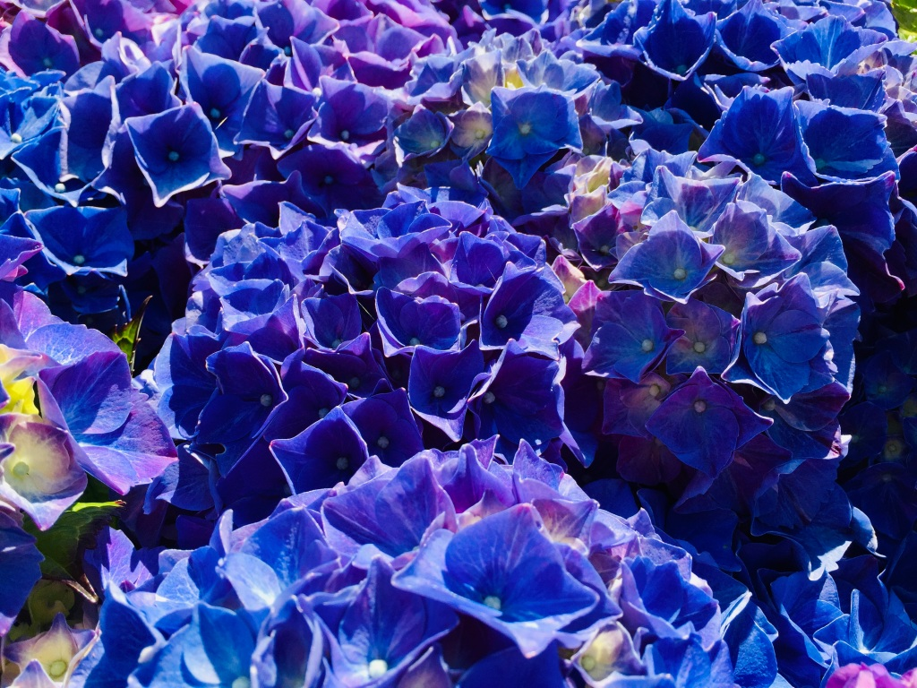 July, 2020 - Campbell River, Vancouver Island, British Columbia - Hydrangea