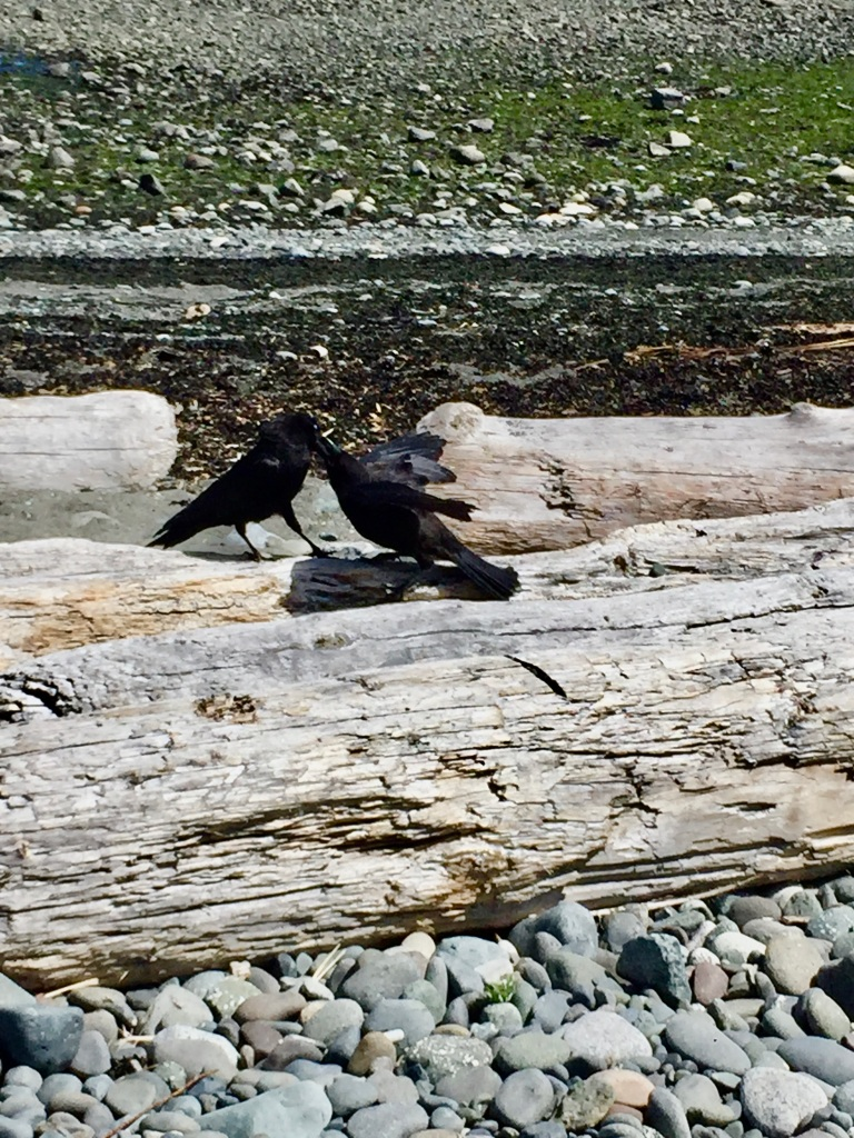 July, 2020 - Campbell River, Vancouver Island, British Columbia - Coastline beach - Baby crow wanting food from mama!