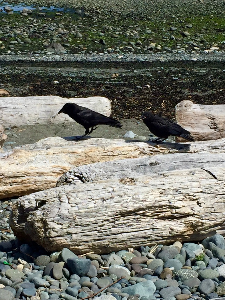 July, 2020 - Campbell River, Vancouver Island, British Columbia - Coastline beach - Mama crow and baby crow