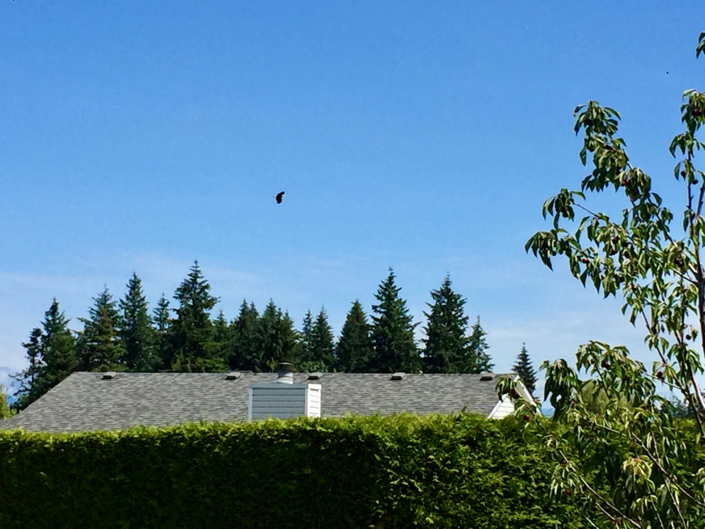 July, 2020 - Campbell River, Vancouver Island, British Columbia - Eagle flying near our house