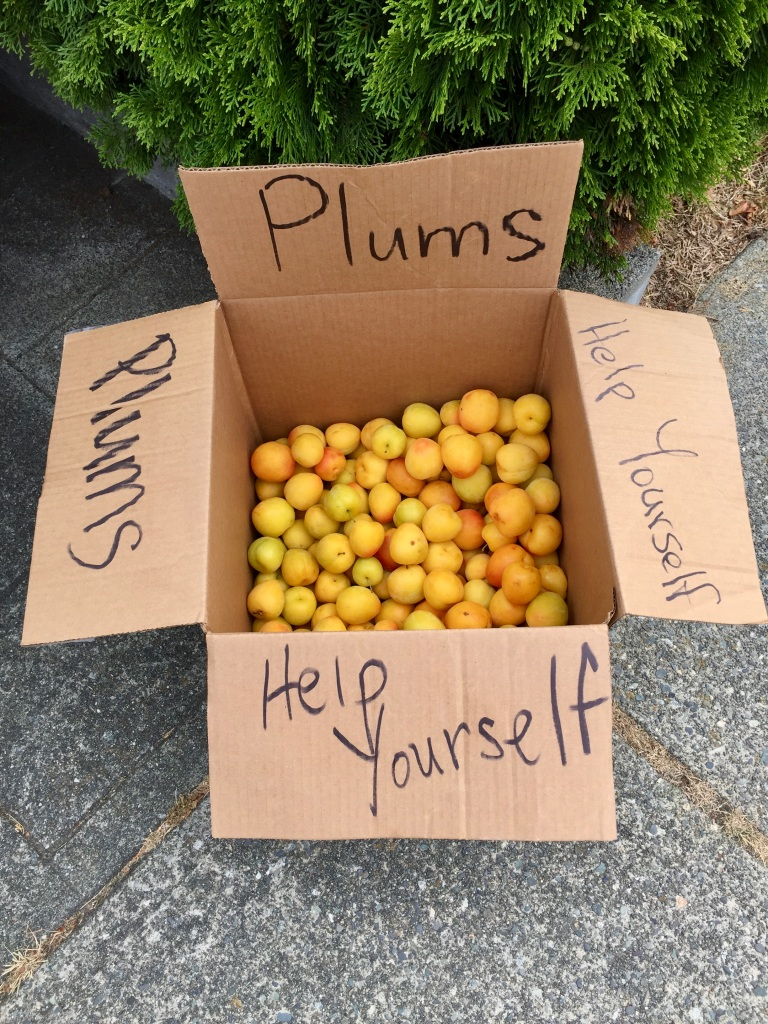 July, 2020 - Campbell River, Vancouver Island, British Columbia - Free plums from a neighbor's yard!