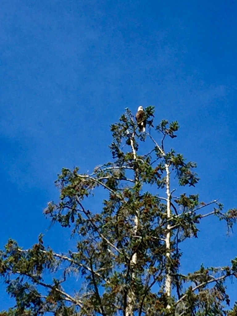 July, 2020 - Campbell River, Vancouver Island, British Columbia - Eagle sitting like a king at the top of a tree
