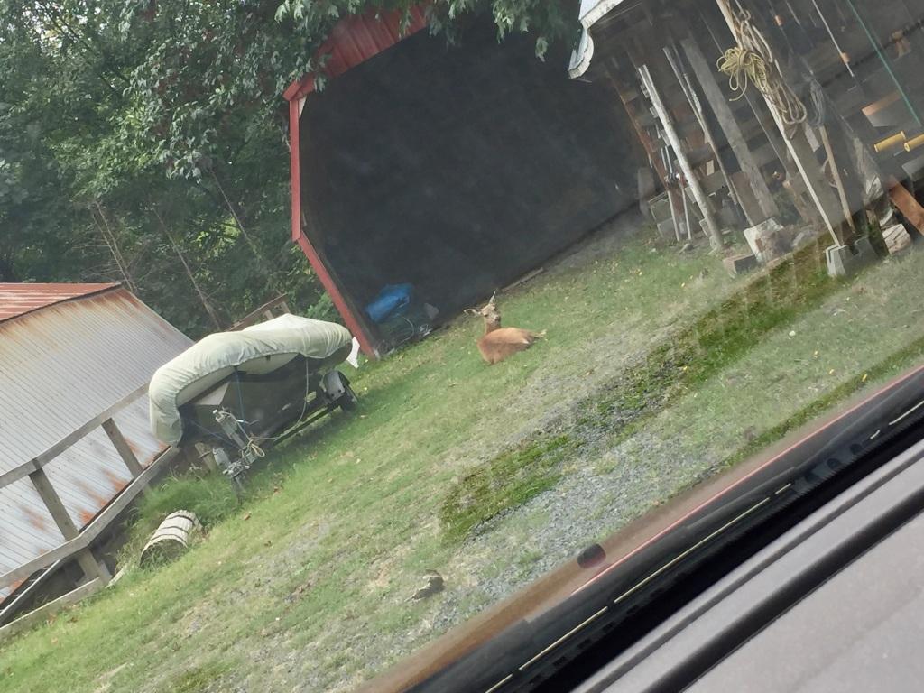 August 23rd, 2020 - White-tailed deer - mama deer