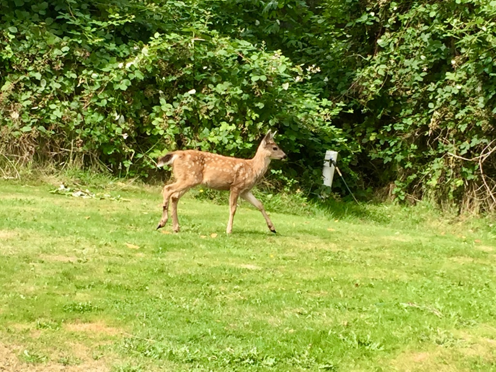 August 23rd, 2020 - White-tailed deer - Baby deer walking towards the woods!