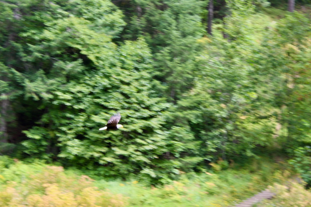 July, 2020 - Campbell River, Vancouver Island, British Columbia - Elk Falls - Eagle flying in front of me as I crossed a bridge
