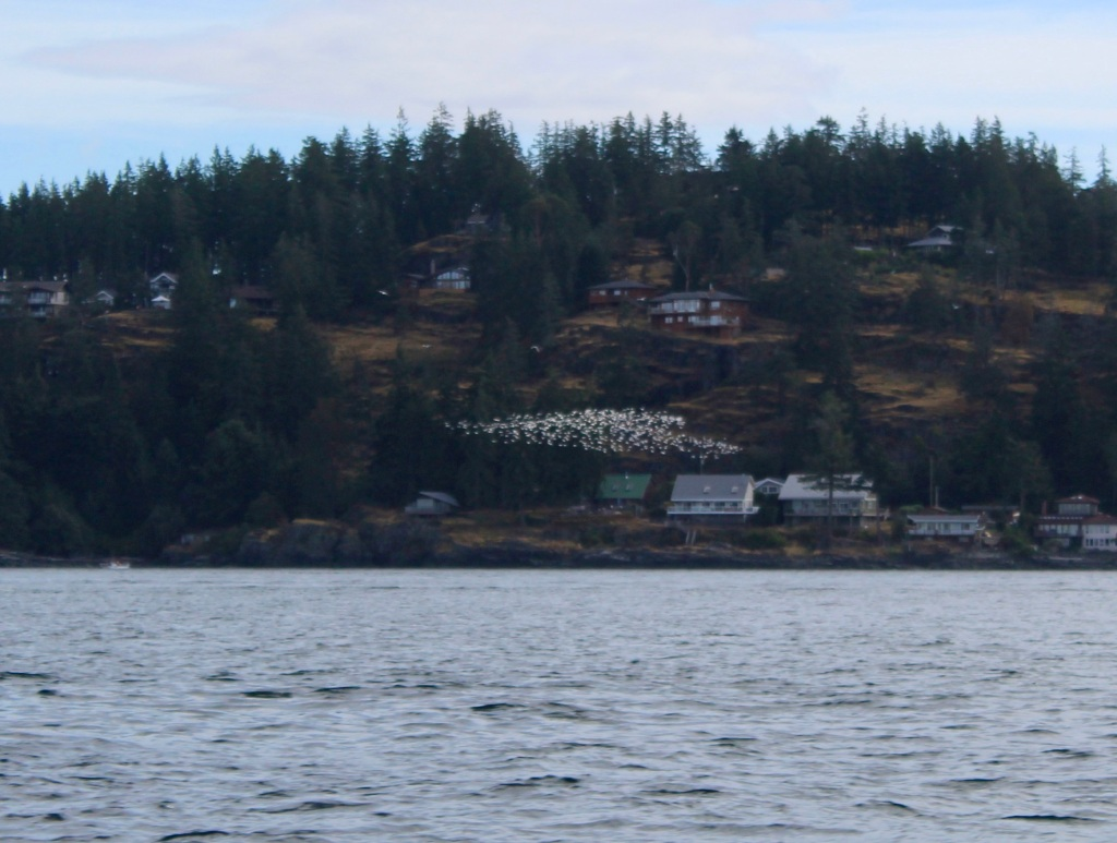 August 8, 2020 - Campbell River, BC - Big Animal Encounters - Flock of birds flying past Quadra Island