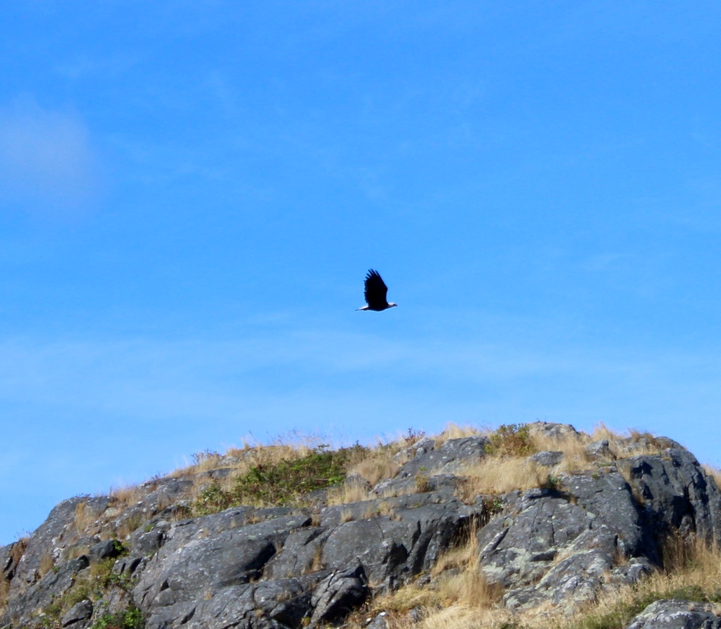 August 8, 2020 - Campbell River, BC - Big Animal Encounters - Bald Eagle on Mitlenatch Island