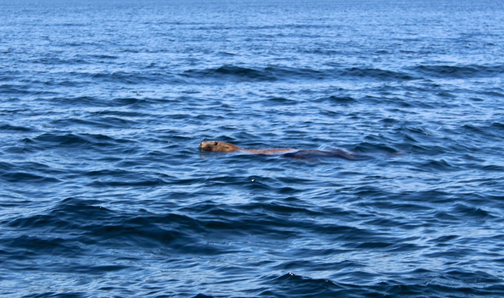 August 8, 2020 - Campbell River, BC - Big Animal Encounters - A pair of playful juvenile Steller Sea Lions