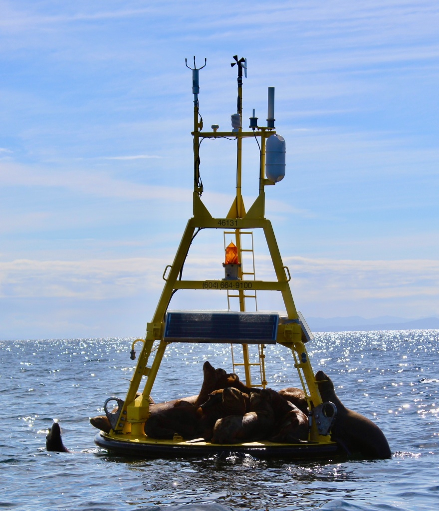 August 8, 2020 - Campbell River, BC - Big Animal Encounters - A buoy load of juvenile Steller Sea Lions!