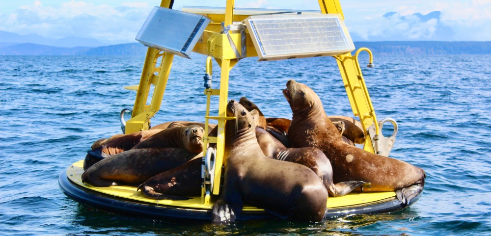 August 8, 2020 - Campbell River, BC - Big Animal Encounters - Juvenile Steller Sea Lions