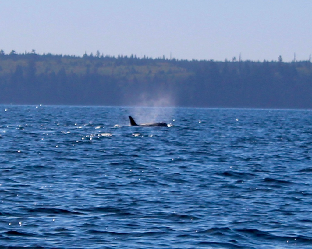 August 9th, 2020 - Big Animal Adventures, Discovery Islands Archipelago - Sutil Channel - Resident orcas