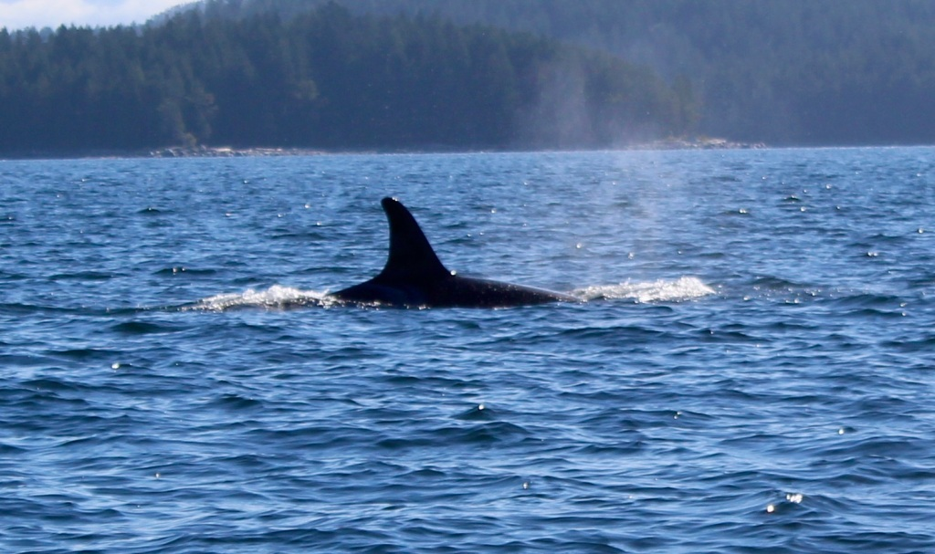 August 9th, 2020 - Big Animal Adventures, Discovery Islands Archipelago - Sutil Channel - Resident orcas - Sequence - Surface to Submersion