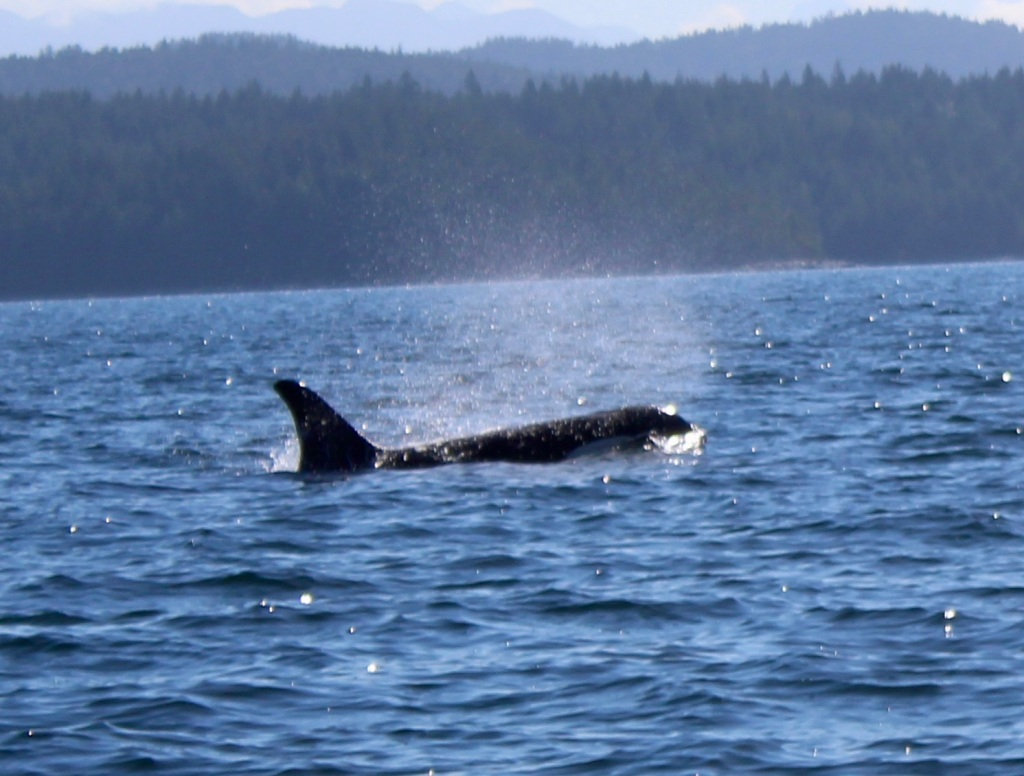 August 9th, 2020 - Big Animal Adventures, Discovery Islands Archipelago - Sutil Channel - Resident orcas - Orca and BC Ferry from Cortes Island to Quadra Island