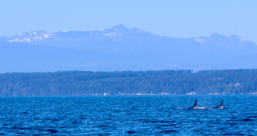 August 9th, 2020 - Big Animal Adventures, Discovery Islands Archipelago - Sutil Channel - Resident orcas - Orcas and Vancouver Island Coastal Mountains