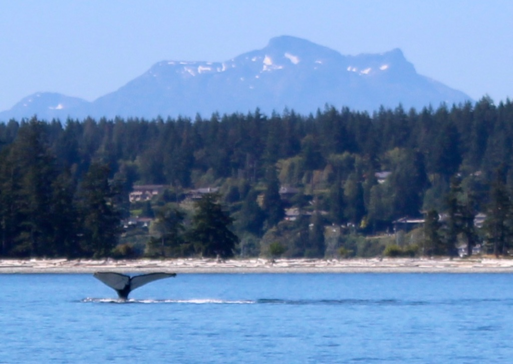 August 9th, 2020 - Big Animal Adventures, Discovery Islands Archipelago - Sutil Channel - Humpback Whale Diving - Vancouver Island Coastal Mountain Background