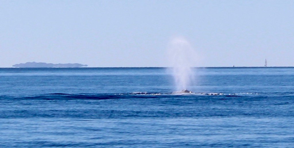 August 9th, 2020 - Big Animal Adventures, Discovery Islands Archipelago - Sutil Channel - Humpback Whale Spout