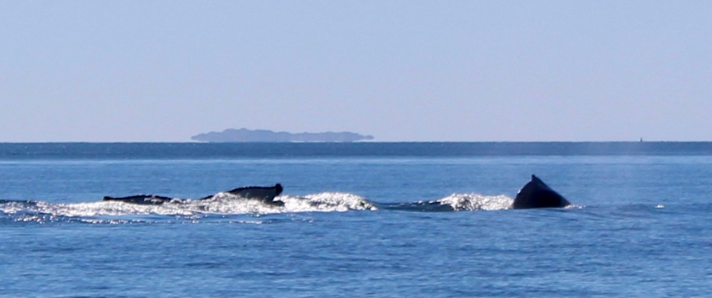 August 9th, 2020 - Big Animal Adventures, Discovery Islands Archipelago - Sutil Channel - Humpback whales playing in the waves - Dive - Fluke