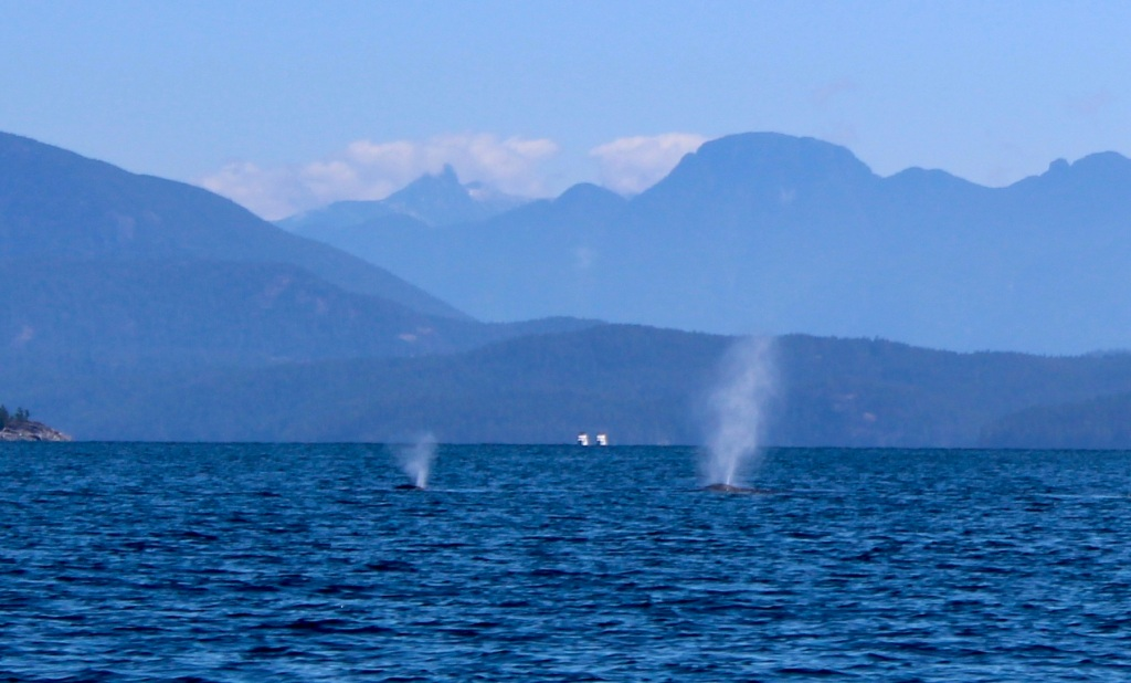 August 9th, 2020 - Big Animal Adventures, Discovery Islands Archipelago - Sutil Channel - Humpback Whale's Spout