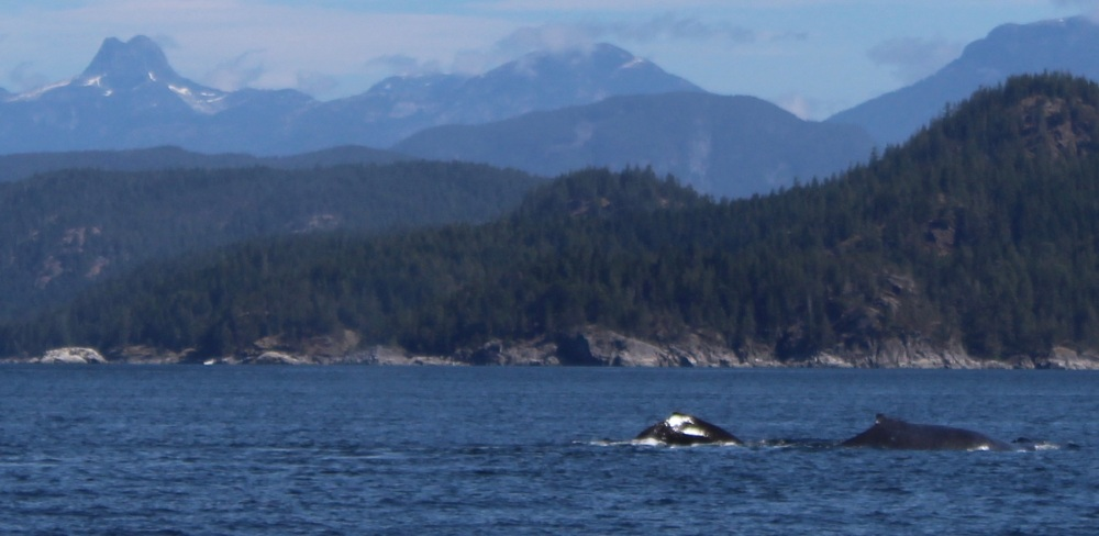 August 9th, 2020 - Big Animal Adventures, Discovery Islands Archipelago - Sutil Channel - Humpback whales and Mount Doogie Dowler