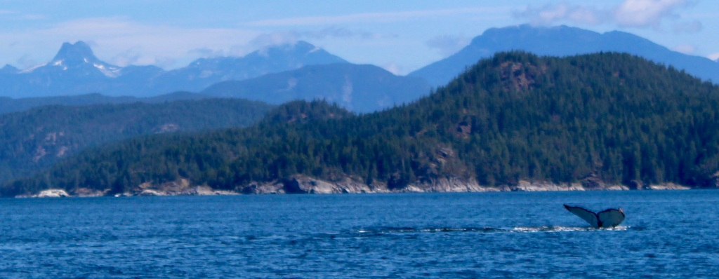 August 9th, 2020 - Big Animal Adventures, Discovery Islands Archipelago - Sutil Channel - Humpback whale and Mount Doogie Dowler - Dive - Fluke