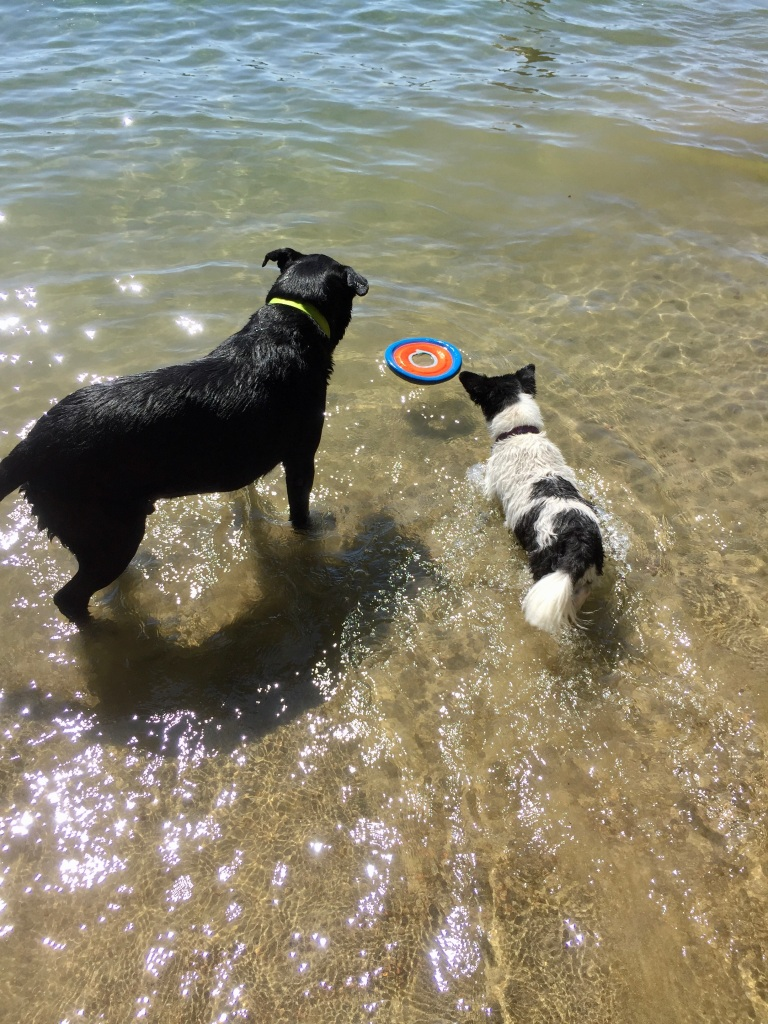 August, 2020 - McIvor Lake, Campbell River, Vancouver Island, BC - Pooh Bear and her Labrador friend!!